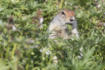 Arctic ground squirrel (Spermophilus parryii) eating  Cape Dezhnev  Chukotka  Russia