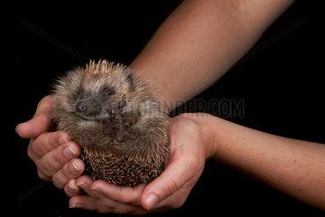 European Hedgehog held in hand on a black background