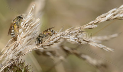 Mining bee (Halictus leucaheneus) females seeking moisture  Regional Natural Park of the Vosges du Nord  France