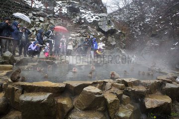 Tourists and Macaques of Japanese (Macaca fuscata) in hot spring  Snow Monkey Park  Joshinetsu Kogen  Japan