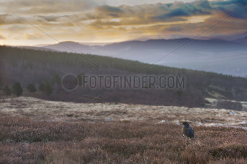 Male Black Grouse standing among heather - Scotland