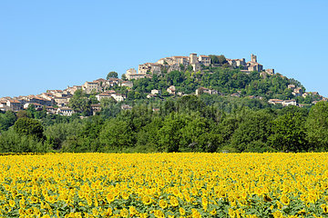 Field of Sunflowers in flower with in the background the medieval and tourist village of Cordes-sur-ciel  Tarn  classified among the most beautiful villages of France