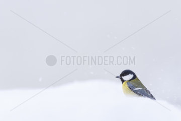 Great tit (Parus major) in the snow  Alsace  France