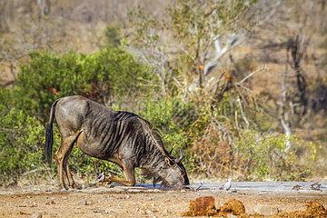 Blue wildebeest (Connochaetes taurinus) drinking at water hole  Kruger National Park  South Africa