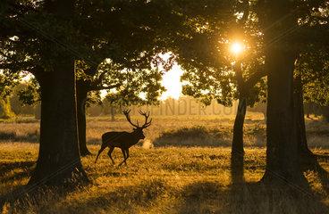 Red deer (Cervus elaphus) Stag walking in a woodland at sunrise  England  Autumn