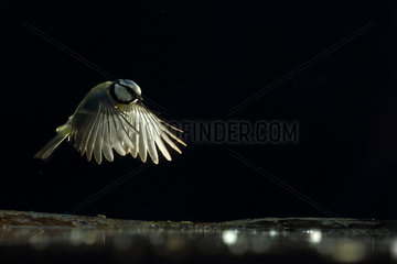 Blue Tit (Cyanistes caeruleus) in flight on black background and backlighting  Hungary