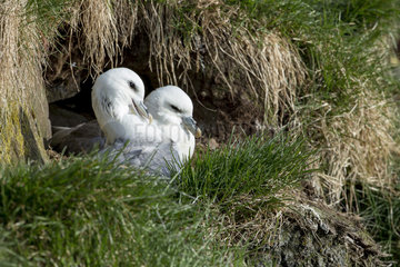Northern Fulmar (Fulmarus glacialis) couple at nest  Iceland