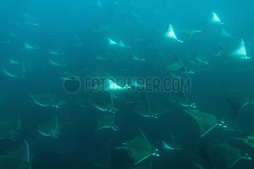 Smoothtail mobulas in formation - Gulf of California