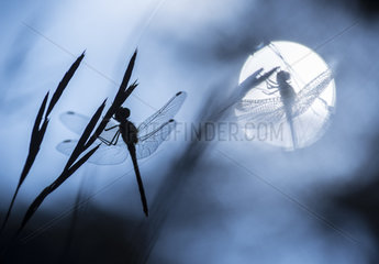 Two dragonflies open their wings to warm themselves from the cold morning