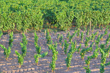 Young plants of Vines and vineyards of the AOC Sauternes. Commune of Fargues  Gironde (33)  France
