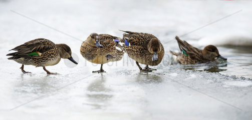 Common teal (Anas crecca) females on a frozen river  Sauer Delta Nature Reserve  Rhine Border  Munchhausen  Alsace  France