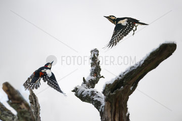 Couple of Woodpeckers (Dendrocopos major) pursuing  Regional Natural Park of the Vosges du Nord  France