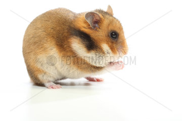 Domestic golden hamster (Mesocricetus auratus) filling its food jowls on a white background.