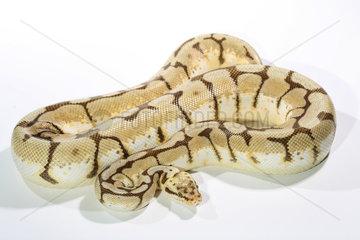 Royal Python (Python regius) 'Bumble bee' on white background