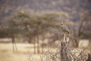 Yellow-necked spurfowl (Francolinus leucpscepus)  Samburu  Kenya