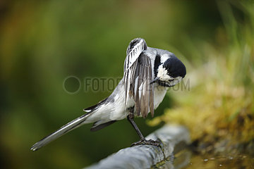 Pied Wagtail grooming - Alsace France