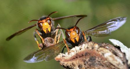 Asian hornet (Vespa velutina) in front of their nest  edges of Loire  Nantes  France