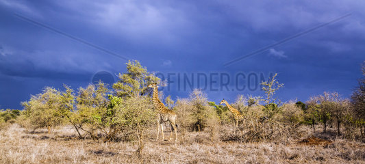 Giraffe (Giraffa camelopardalis) and sormy sky  Kruger National Park  South Africa