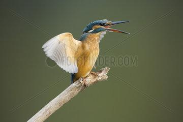 Kingfisher (Alcedo atthis) on perch agressive behaviour  UK