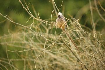 White-headed mousebird (Colius leucocephalus)  Samburu  Kenya