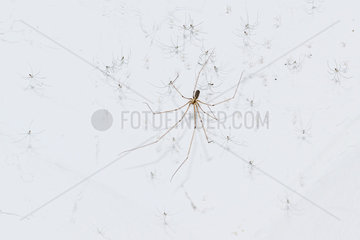 Daddy long-Legs Spider (Pholcus phalangioides) female and young  France