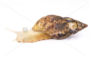 Albino Giant African land snail (Achatina reticulata) on white background