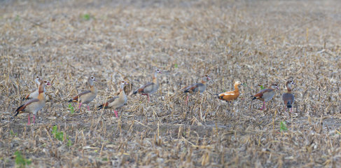 Migratory stop of the Egyptian Geese (Alopochen aegytiacus) in a corn field with a Ruddy Shelduck (Tadorna ferruginea)  Sauer Delta Nature Reserve  Rhine Border  Munchhausen  Alsace  France