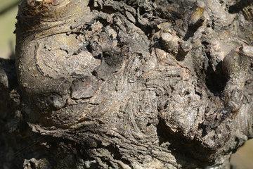 San Jose scale (Diaspidiotus perniciosus)  infestation on the trunk of apple tree. Sagrada Familia - Province of Curicó VII Region of Maule - Chile