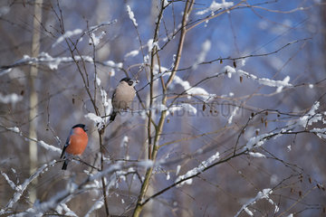 Couple of Bullfinches (Pyrrhula pyrrhula) eating birch seeds  Regional Natural Park of the Vosges du Nord  France