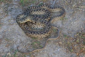 Montpellier Snake (Malpolon monspessulanus) juvenile  Spain