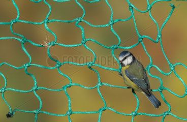 Blue tit (Cyanistes caeruleus) Blue tit perched on a fishing net  England  Autumn