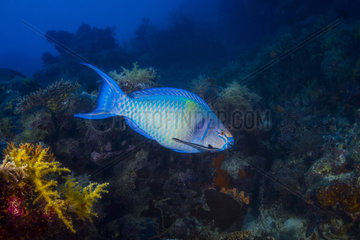 Redbarred Parrotfish (Scarus caudofasciatus) above the reef  Indian Ocean  Mayotte