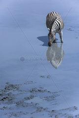 Burchell's zebra (Equus burchellii)  drinking   Namibia  Etosha national Park