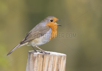 Robin (Erithacus rubecula) Robin perched on a post and displaying  England  Spring