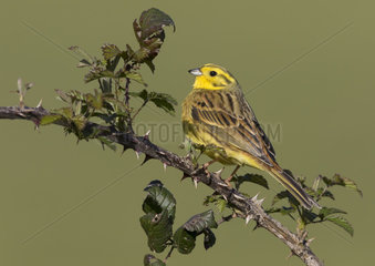 Yellowhammer (Emberiza citrinella) Bunting perched on a bramble branch  England  Spring