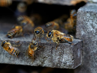 Honey bee (Apis mellifera) - On a hive's flight board we can see the great size of the drone compared to other bees. Veritable athletes built for flying  fertilization flights have been observed at more than 7 kilometres from the hive even if the average distance for fertilizations is 3 kilometres from the hive.