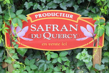 Cultivation of saffron (Crocus sativus) in Quercy. Saint Cirq Lapopie  Lot-et-Garonne  France
