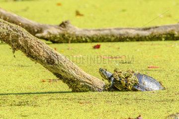 Red-eared Pond Slider (Pseudemys scripta elegans) Taking a sun bath  Chautagne  Savoie  France