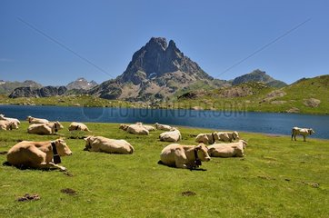 Herd of Blondes des Pyrenees cows  at the mountain pasture. Lake Bersau and Pic du Midi d'Ossau. Pyrenees National Park