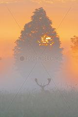 Fallow Deer (Cervus dama) on misty morning at sunrise  Hesse  Germany  Europe
