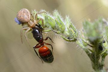 Crab spider (Xysticus bifasciatus) capturing an ant queen  Serre-Chevalier  Alpes  France