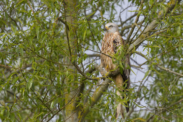 Red kite (Milvus milvus) Kite perched in a tree  England  Spring