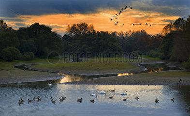 Wild Geese Migration (Anser anser)  Sauer Delta Nature Reserve  Rhine Border  Munchhausen  Alsace  France