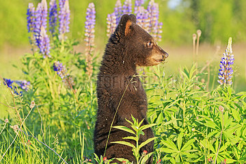 Young Black Bear in the grass in spring - Minnesota USA