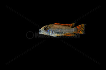 Cockatoo dwarf cichlid 'double red' (Apistogramma cacatuoides) on black background  native from South America (Peru and Colombia)  captive from France