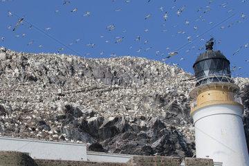 Gannets (Sula bassanus) in flight over a colony  Bass Rock  Scotland