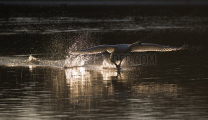 Mute Swan(Cygnus olor) landing on the water  Sauer Delta Nature Reserve  Rhine Border  Munchhausen  Alsace  France