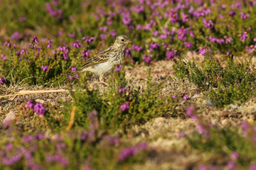 Rock pipit (Anthus petrosus) in the middle of blooming Heather (Erica sp)  Britain  France
