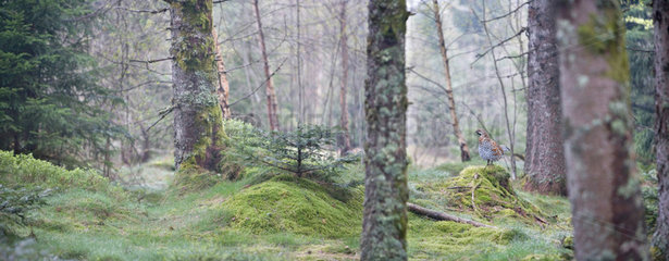 Forest to Hazel Grouse - Vosges France