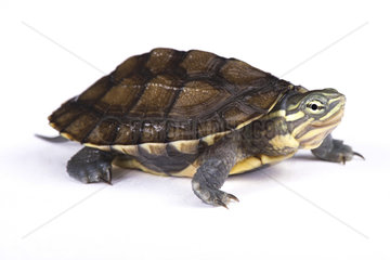 Annam leaf turtle (Mauremys annamensis) on white background